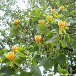 Лириодендрон тюльпанный (Тюльпановое дерево)