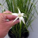 Дихромена широколистная (очеретник)