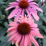 Эхинацея пурпуровая «Оранжево-красная»