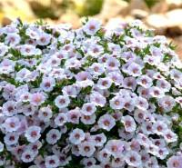 Калибрахое нежно-розовое