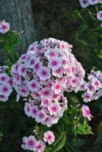 Флокс светло-розовый с малин. глазком
