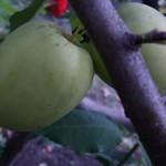 Яблоня Зимнее Макунаса