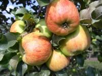 Яблоня Декабренок