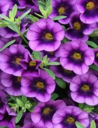 Калибрахое фиолетовое