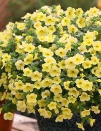 Калибрахое желтое