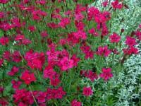 Гвоздика травянка алая