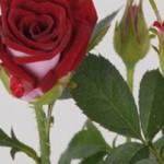 """Роза спрей """"Китайский"""""""