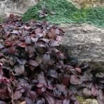Живучка темно-листная
