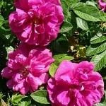 Роза морщинистая Дартс Дефендер