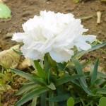 гвоздика махровая белая карликовая