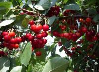 Вишня Алтайская урожайная