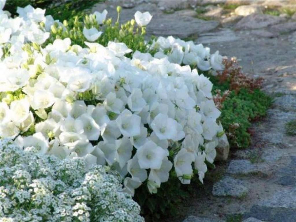 Бархатцы посадка и уход  Цветок в доме