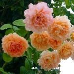 Роза Романтика Мандариновая