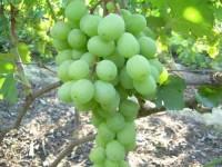виноград Алекса ранняя (столовый)