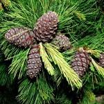 Сосна кедровая сибирская (кедр сибирский) - Pinus sibirica