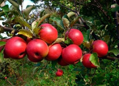 Яблоня Лучистое