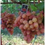 Виноград Анжелика
