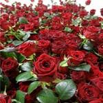 """Роза """"Томанго"""""""