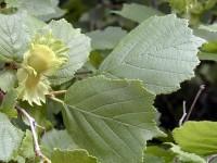 Лещина разнолистная (фундук) (Corylus heterophylla)
