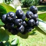 Рябина (Арония) черноплодная Неро