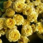 Роза спрей Желтый