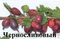 Крыжовник Черносливовый