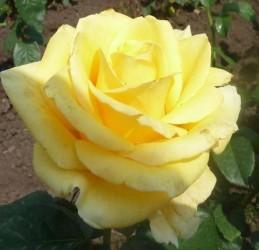 "Роза "" Дивино"""