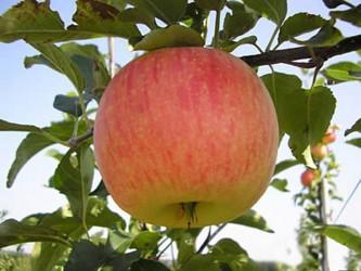 """Яблоня крупноплодная """"Ароматное"""""""