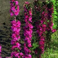 Яблоня колоновидная красноцветковая Кармелита
