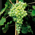 Виноград Перлетт (кишмиш)