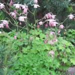 Семиаквилегия розовая