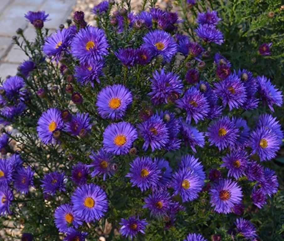 Синий цветок осени