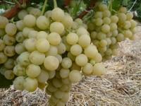Виноград Новое столетие