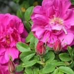 Роза Морщинистая  (Шиповник морщинистый) (Rosa rugosa)