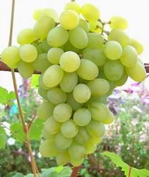 Виноград Мускат Благородный (столовый)