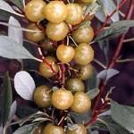 Сливово-вишневый гибрид (СВГ) Пиромидальная