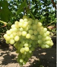 виноград Карамельный (кишмиш)