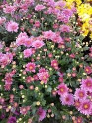 Хризантема корейская Фантазия (розовая махровая)
