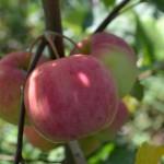 Яблоня Сюрприз