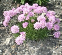 Армерия приморская розовая