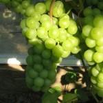 Виноград Алма-Атинский (столовый)