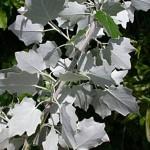 Тополь белый (серебристый)