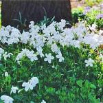 Флокс столоносный белый