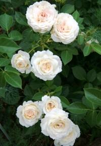 Роза Монжардин