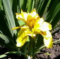 Ирис aировый «Плена» (Iris pseudacorus f. pleno)