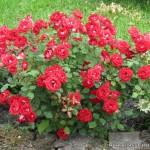 Роза Мейду