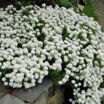 Иберис вечнозеленый  Сноуфлейк