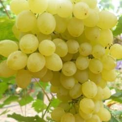 Виноград киш-миш Золотце