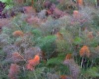Фенхель обыкновенный Пурпуреум
