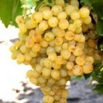 Виноград Белое пламя